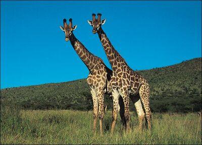 Giraffe-picture