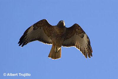 Red-tailed-hawk-flight-450
