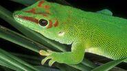 Giant Day Gecko Bill Love-tp jpg 610x343 crop upscale q85