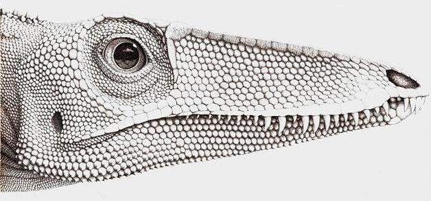 File:Coelophysis rhodesiensis.jpg