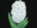 HPC09.White.Hyacinth
