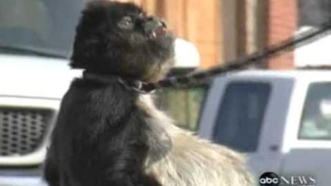 World's FATTEST Monkey? Found in Child's Backyard ! 911 CALL