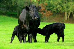Welsh cow