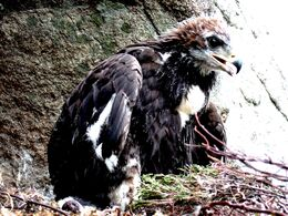 Eagle-fledgling