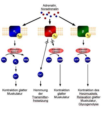 File:Adrenozeptor-Signaltransduktion.jpg