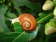 Samsoncj snail 07