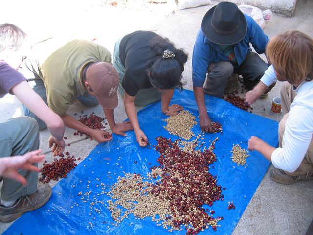 File:Coffee beans being sorted and pulped.jpg