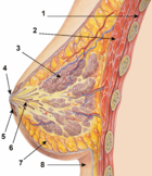 File:Breast anatomy normal scheme.png