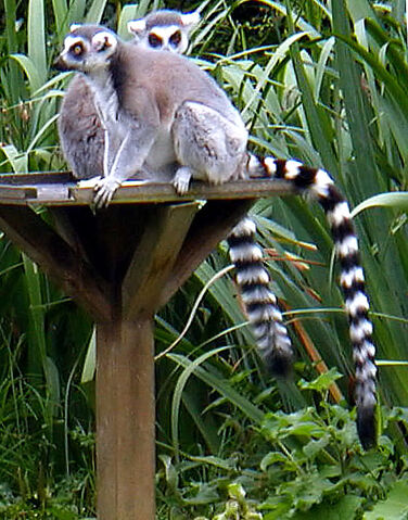 File:Ring tailed lemurs.jpg