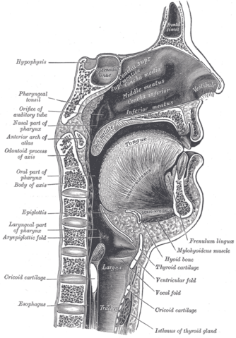 File:Sagittalmouth.png