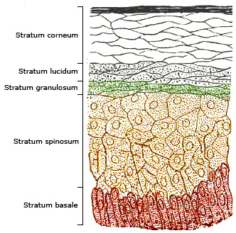 File:Skinlayers.png