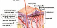 Skin (anatomy)