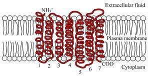 7TM receptor