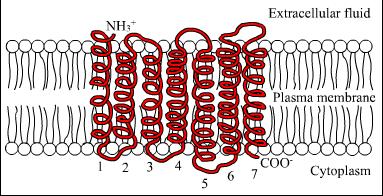 File:7TM receptor.png