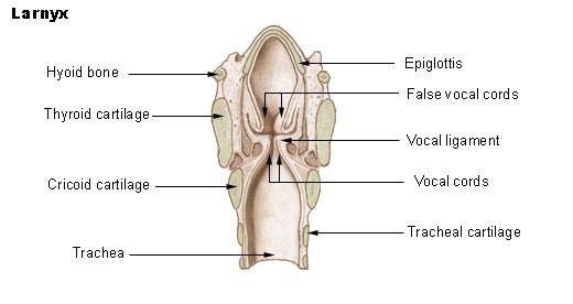File:Illu larynx.jpg