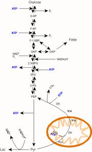 Gluconeogenese Diagramm