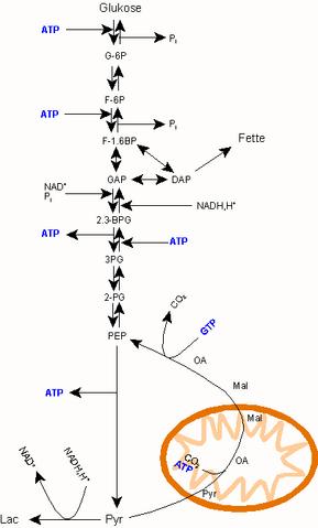 File:Gluconeogenese Diagramm.png