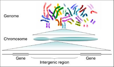 Human genome to genes