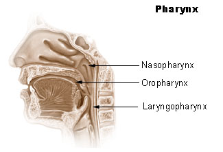 File:Illu pharynx.jpg