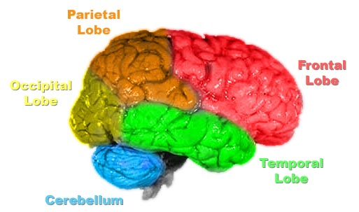 File:Brain-anatomy.jpg