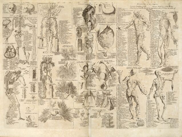 File:Anatomical chart, Cyclopaedia, 1728, volume 1, between pages 84 and 85.jpg