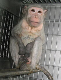AnimaltestingMonkeyCovance2
