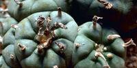 List of psychoactive plants