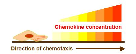 File:Chemokine concentration chemotaxis.jpg