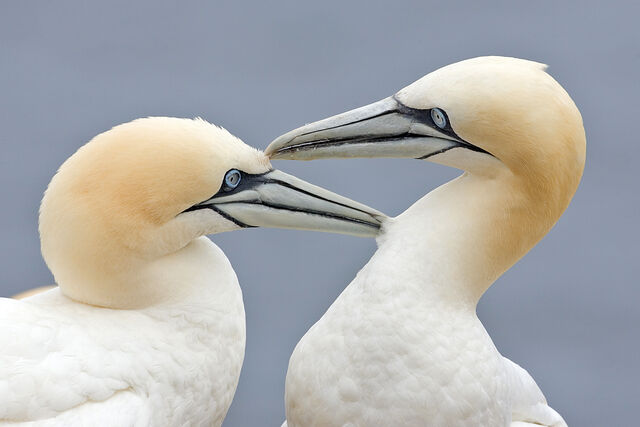 File:Two Gannets edit 2.jpg