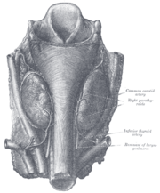 Parathyroidglands