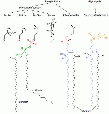 File:Membrane lipids.png