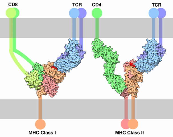 File:TCR-MHC bindings.png
