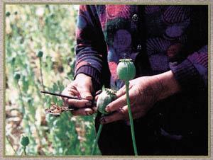 File:Harvesting opium.jpg