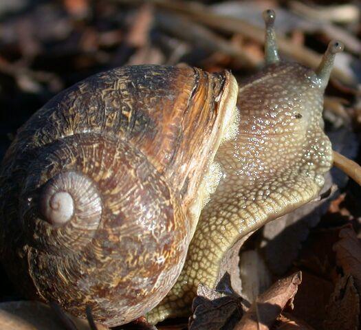 File:Snail2.JPG