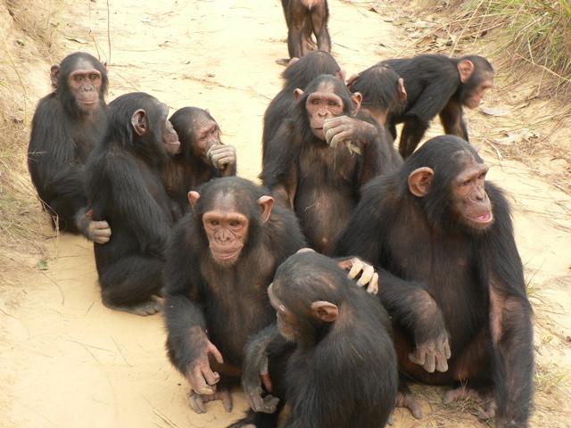 File:Chimps.jpg