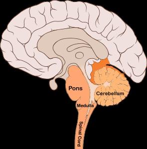 File:Brain bulbar region.PNG