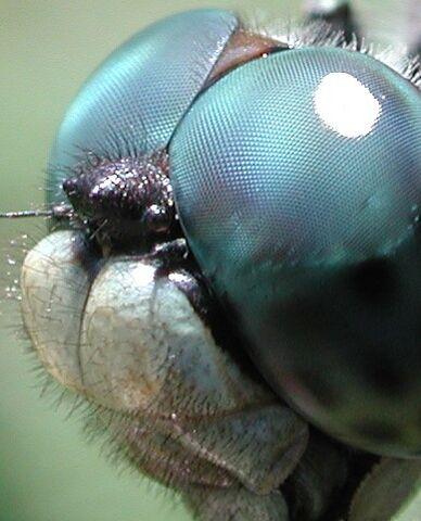 File:Dragonfly eye 3811.jpg