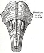 Medulla oblongata and pons
