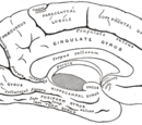 Fornicate gyrus