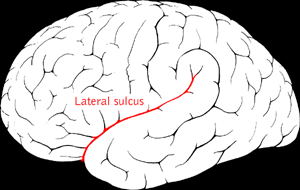 File:Lateral sulcus.png