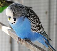 Blue male budgie