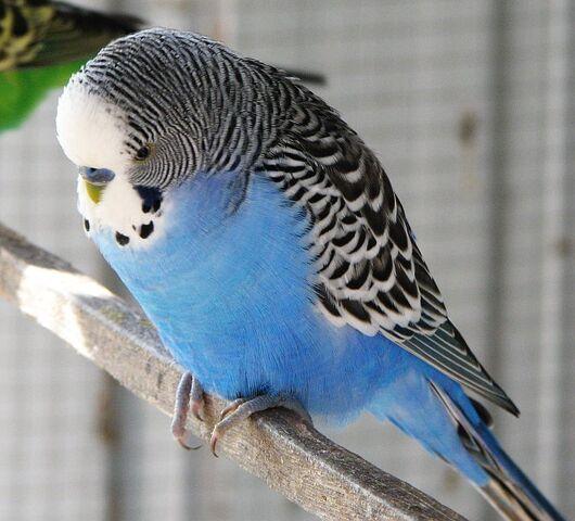 File:Blue male budgie.jpg