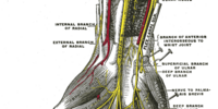 Palmar branch of the median nerve