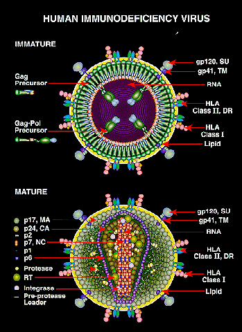 File:HIV.PNG