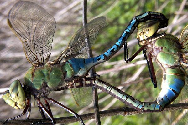 File:Green darner mating med.jpg