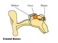 Illu auditory ossicles