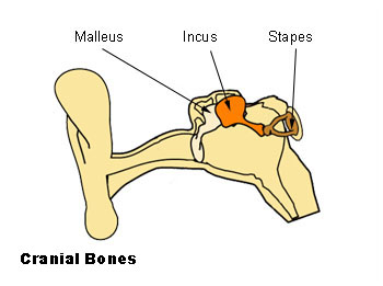 File:Illu auditory ossicles.jpg