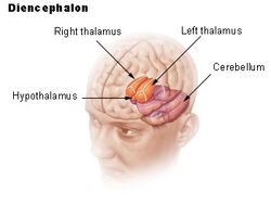 Illu diencephalon
