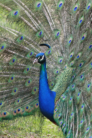 File:Peacock front02 - melbourne zoo.jpg