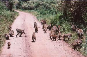 BaboonTroop